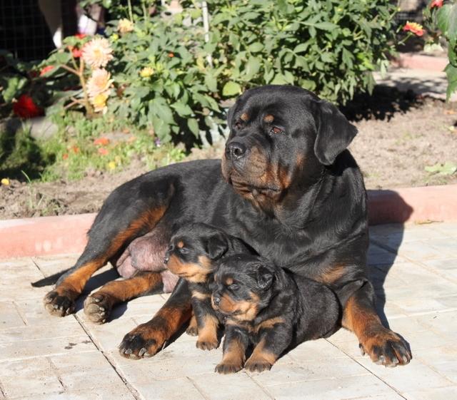 Акслен Либерти со щенками